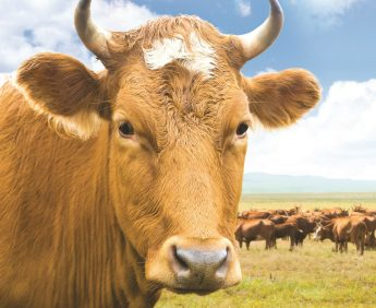 cow (head) and herd of cows grazing at green summer pasture collage